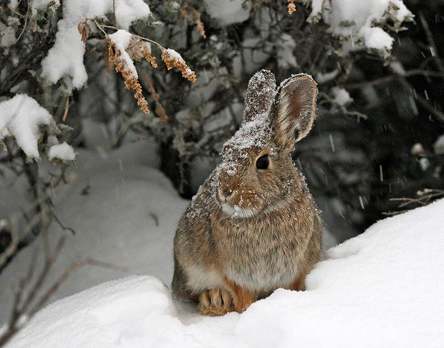 mike_king_-_cottontail_in_the_snow.jpg